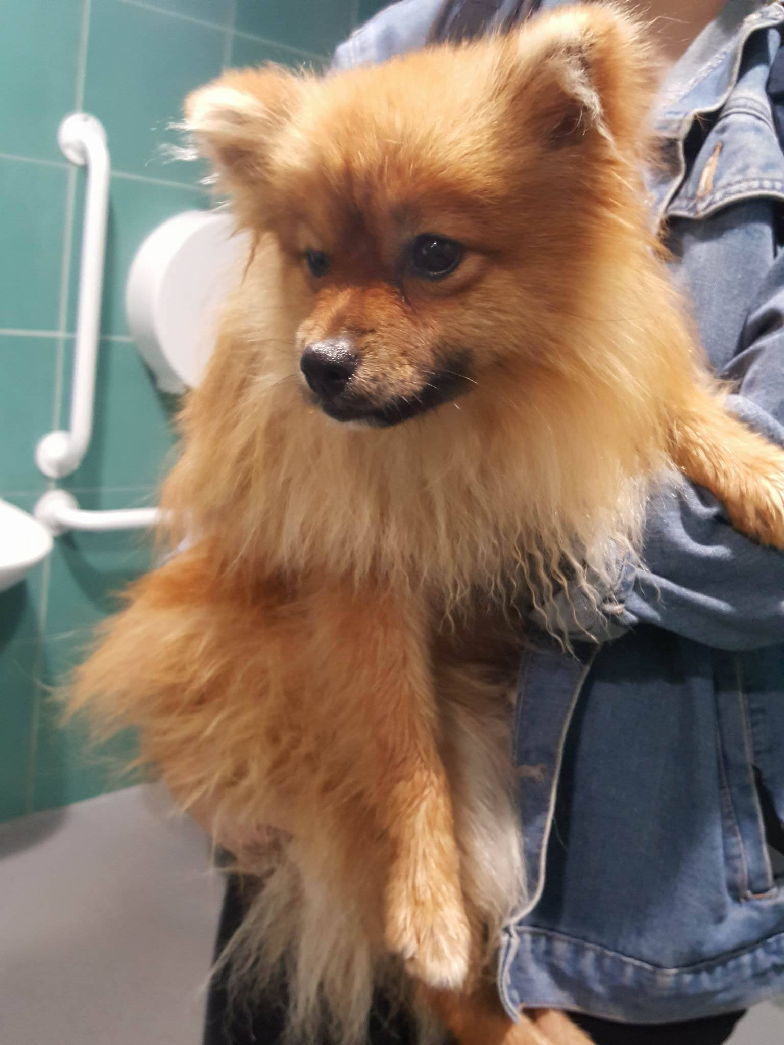 Found: Pomeranian Dog