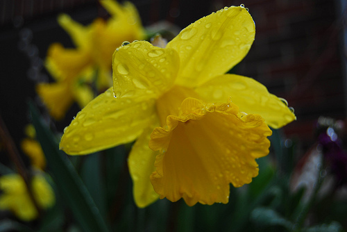Daffodil Day Thursday 22nd March