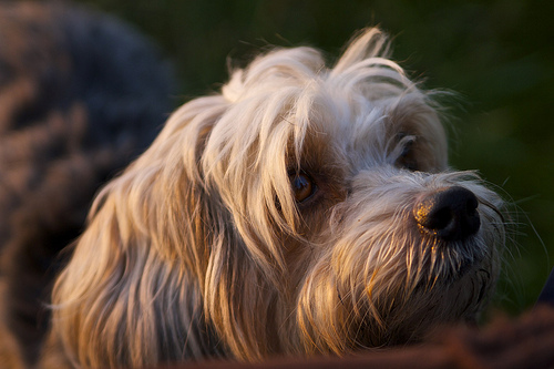 Found: Terrier dog