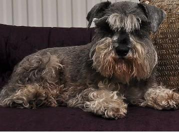 Lost: black and beige miniature Schnauzer dog called Spencer