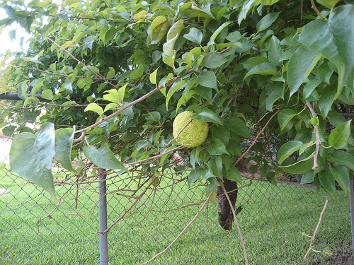 Local company finds value in hedge apples!