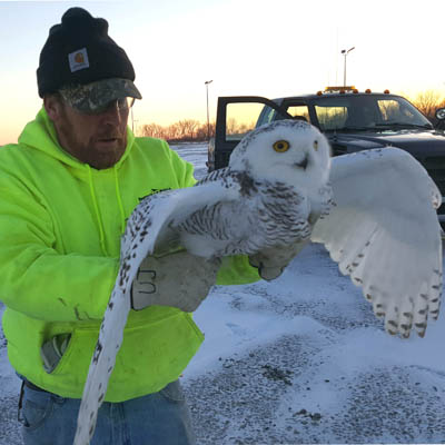 Snowy owls removed from airport grounds