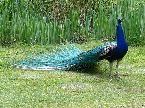 """Woman tried to bring her """"emotional support"""" peacock on a plane!"""