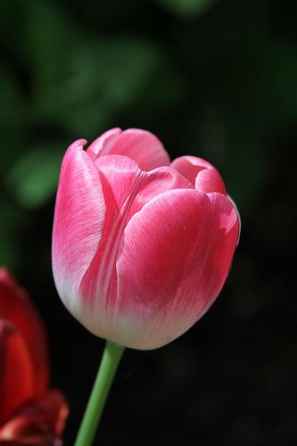 International Women's Day Tulips