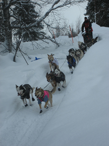 The Norwegian's win Gold and now the Iditarod!