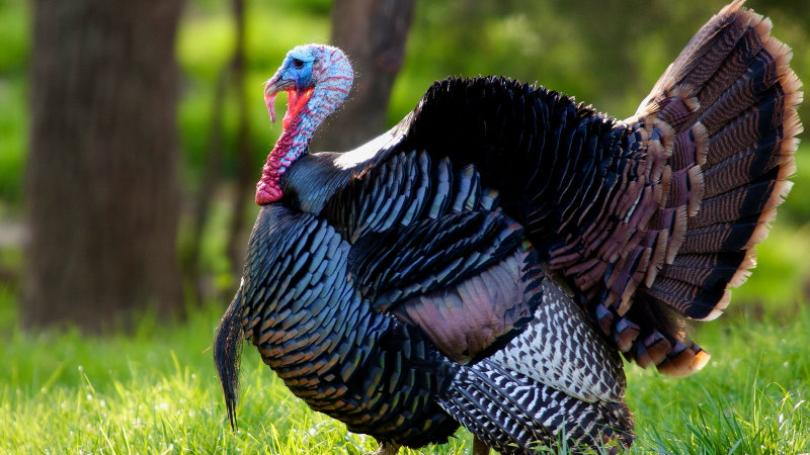 Kentucky Spring Turkey Season Around The Corner