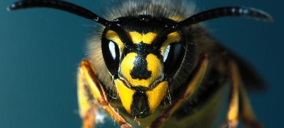 Wasps & Bees In PG