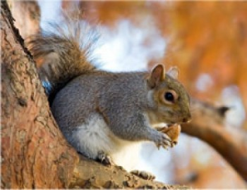 squirrelbcinvasivespecies