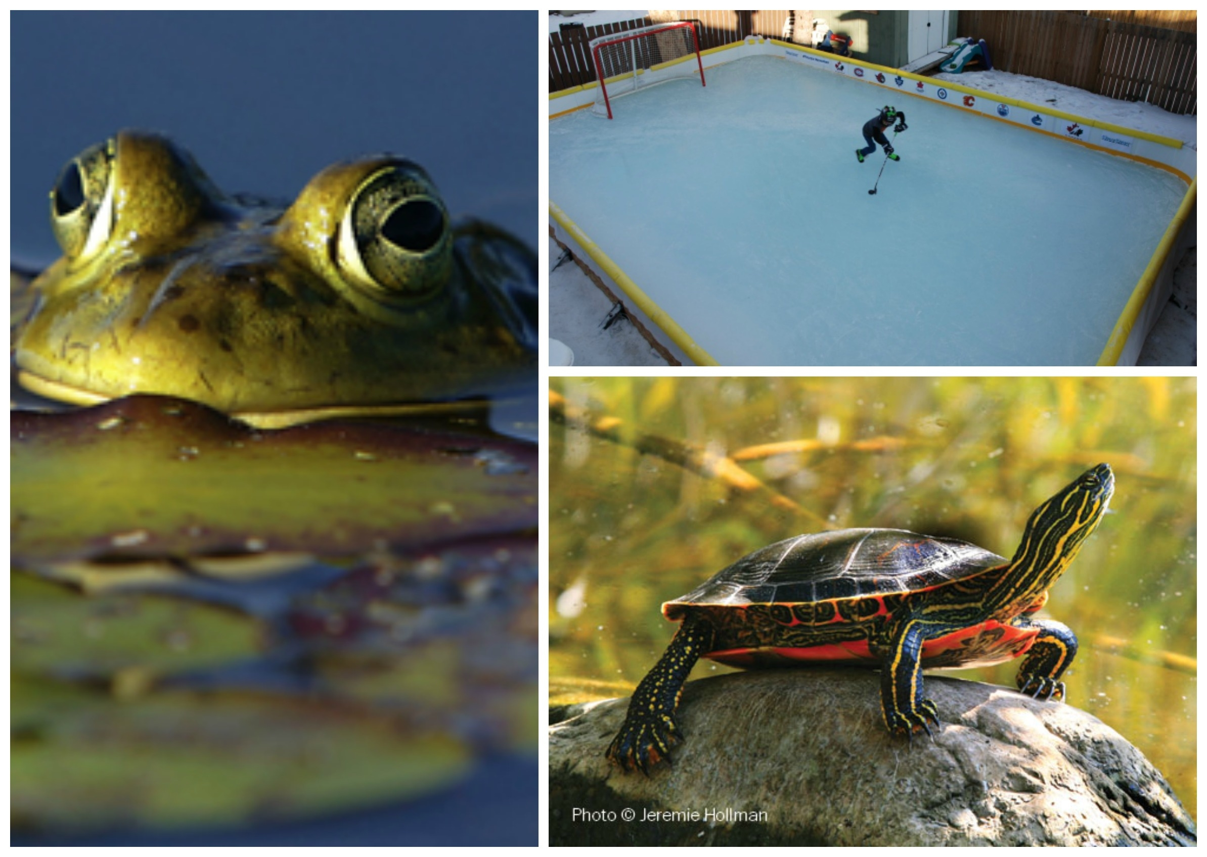 Backyard Rinks, Turtles and Frogs at risk