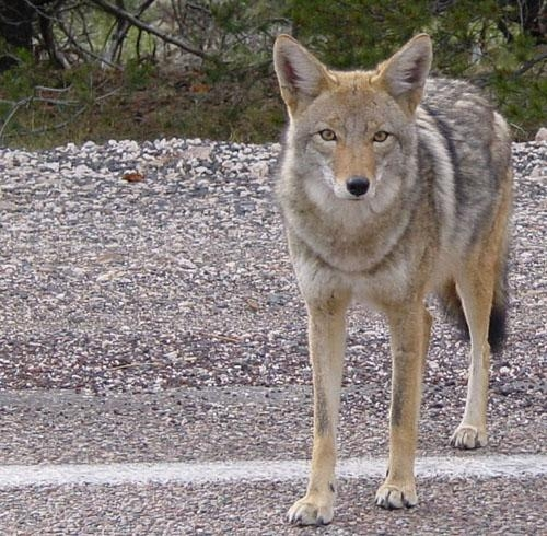 Dealing with Coyotes and other wildlife