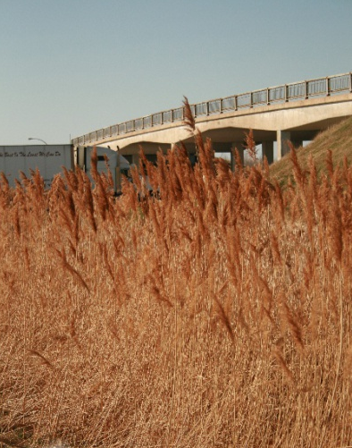 London investigating environmental impact of phragmites