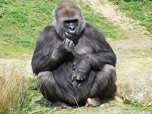5@5 : Are Apes Closer To Speaking Than We Think?