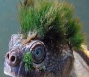 A Punk Rock Turtle That Breathes Through It's Genitals Is On The Endangered List
