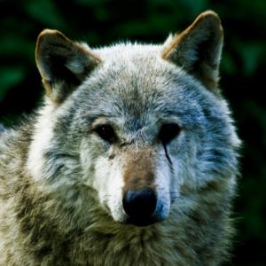 sudzo-wolf