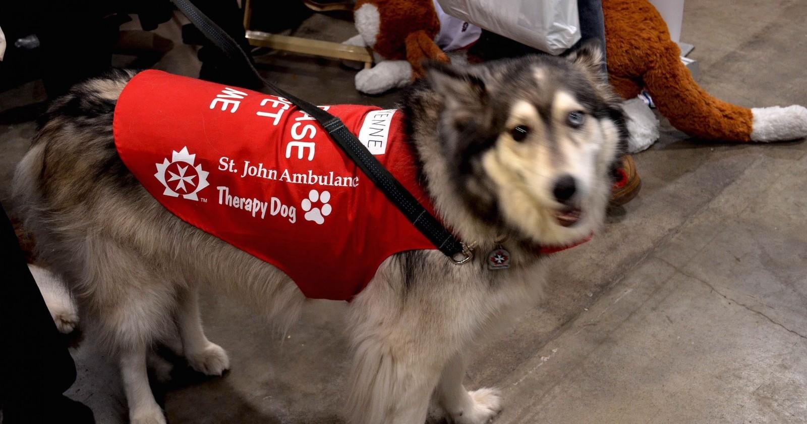 ST JOHN'S AMBULANCE THERAPY DOG @ WINTER WOOFSTOCK 2012 DIRECT E