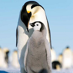 Penguins can't fly, but they like to dive