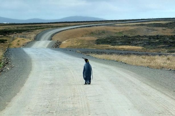 PAY-A-lost-penguin-appears-to-want-to-hitch-a-ride