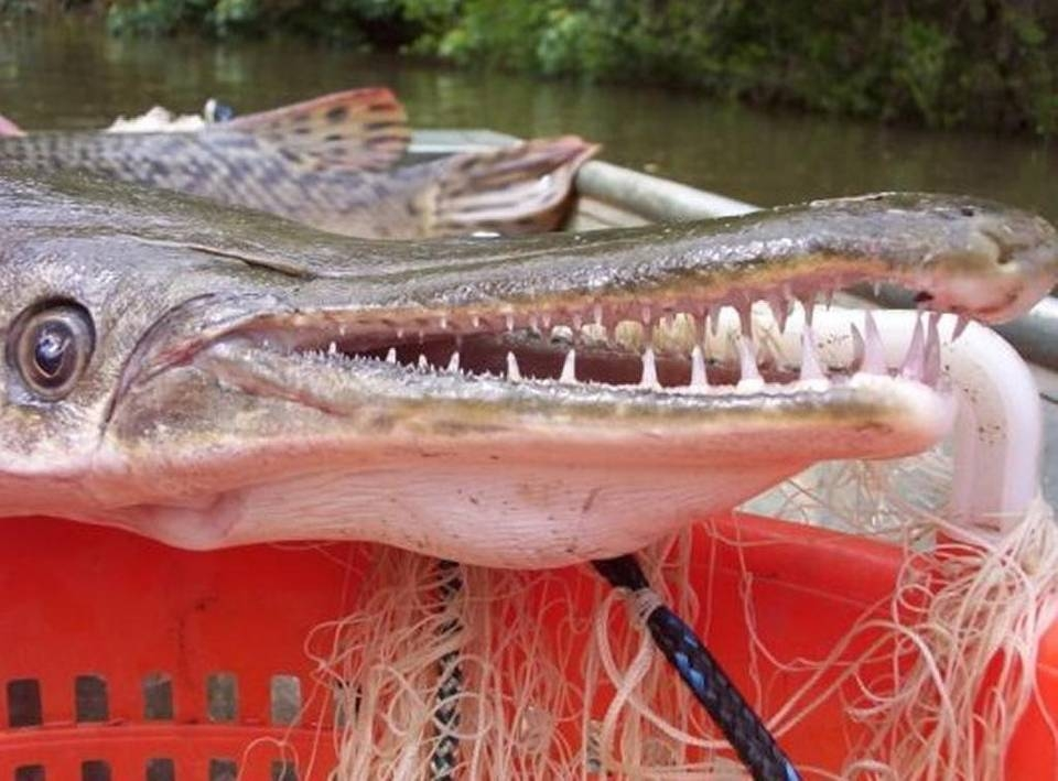 Alligator Gar to Possibly be Reintroduced to Illinois Waters