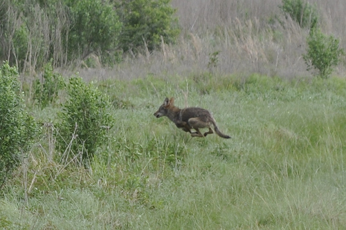 More Warnings For Pet Owners About Coyote Dangers