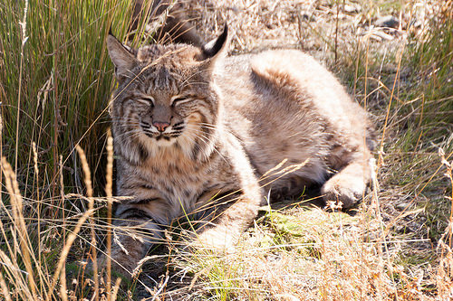 Illinois' 2018 Bobcat Season Sees More Permits, More Cats