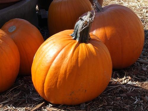 IllinoisPumpkin Crop Recovering