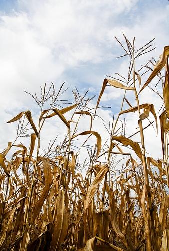 New Corn Disease Hits Illinois