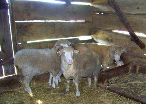 sheep-in-barn-lincoln-log-cabin