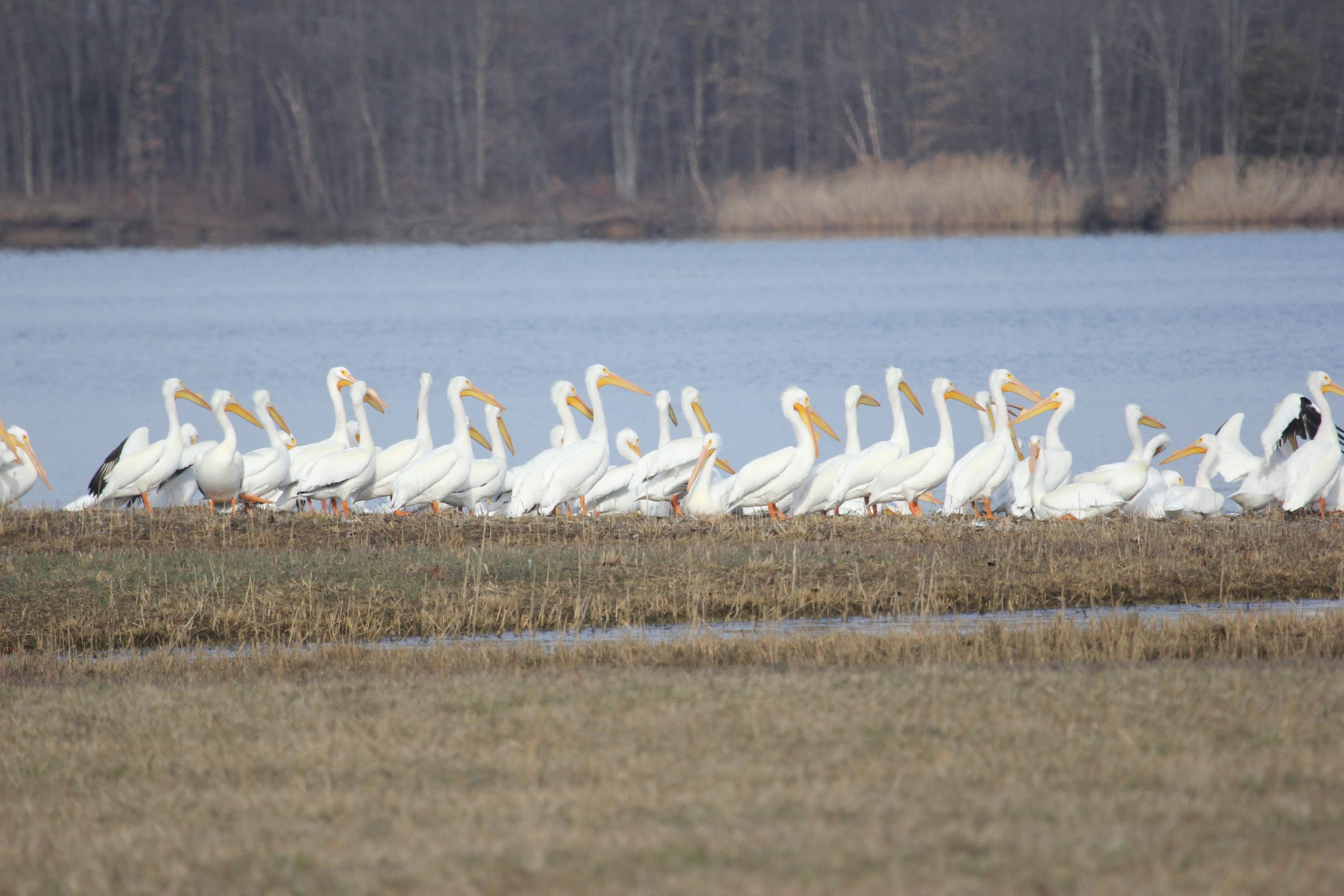 American White Pelican Returned to the Wild After Being Shot