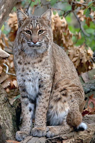 Bobcats Could Be Expanding Range