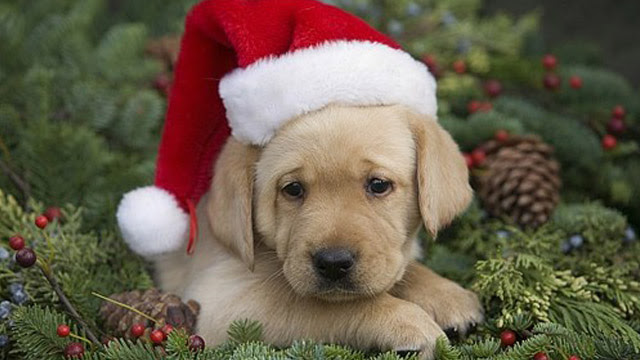 Take Care When Giving Puppies as Holiday Gifts