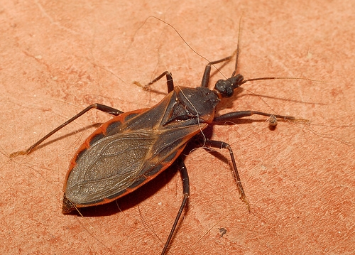 """Kissing Bug"" Spotted in Area"