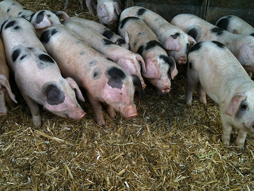 Group Forms To Fight Hog Truck Facility