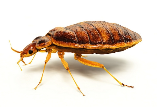 Bedbugs Are More Attracted to Darker Colors...Avoid Red or Black Sheets