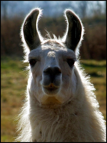 Cal Berkeley Students Can Pet A Llama To Relieve Finals Stress Today