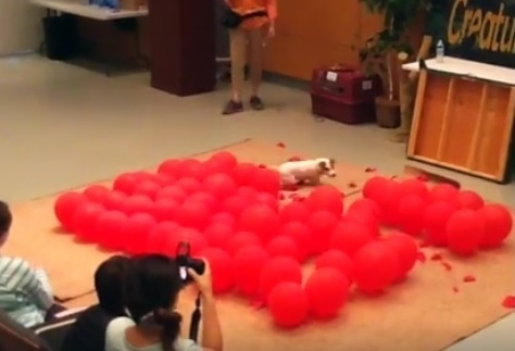 Dog Breaks the World Record for Balloon Pops!