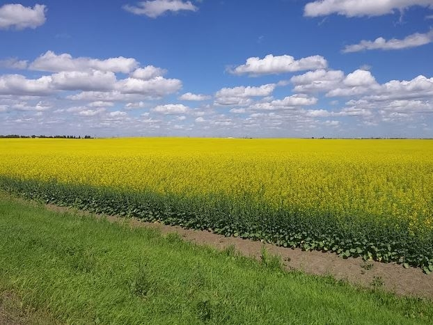 Canola prices to take slight downturn in 2017, says market analyst
