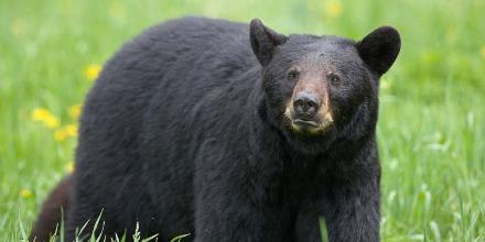 bear_black_american