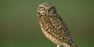 burrowing_owl_