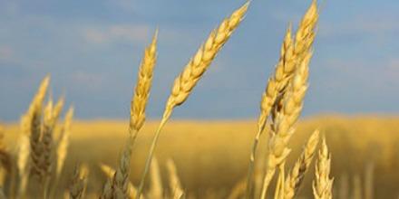 grains_