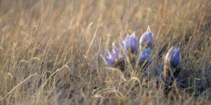 prairie_grass