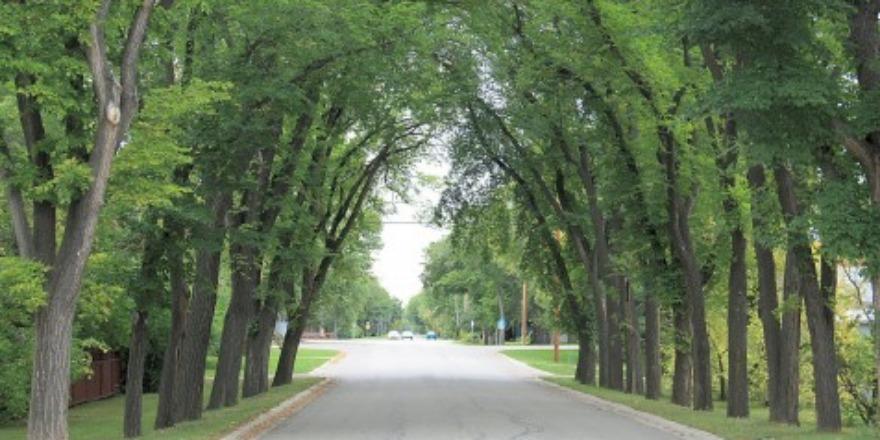 elm_trees_
