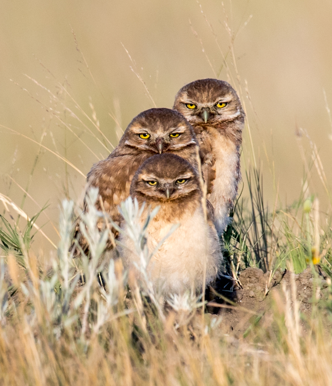 burrowing_owl_2