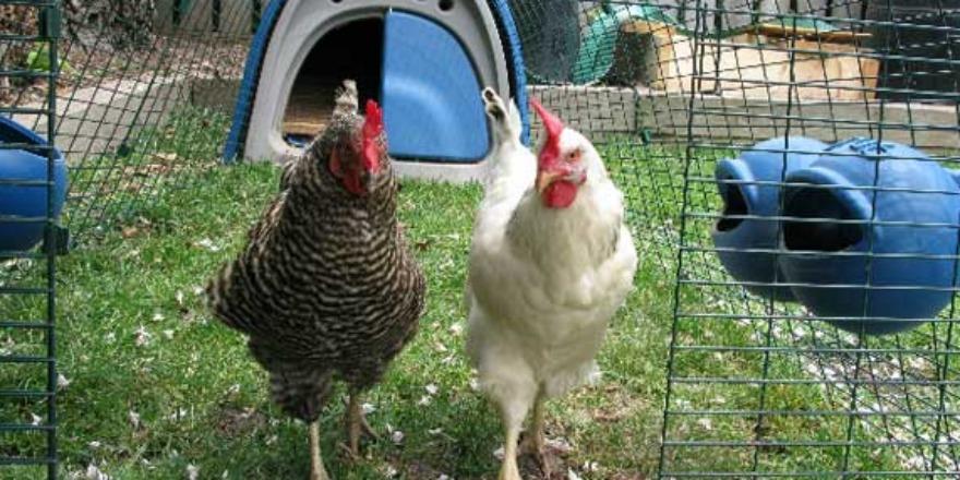 chickens_backyard
