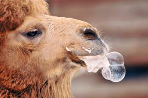 camel-spitting-11
