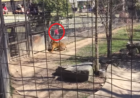DO NOT TRY EVER: Woman jumps tiger fence at zoo to retrieve hat