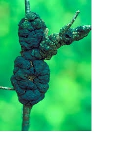 Black Knot Fungus Infecting Hundreds Of Fort McMurray Trees