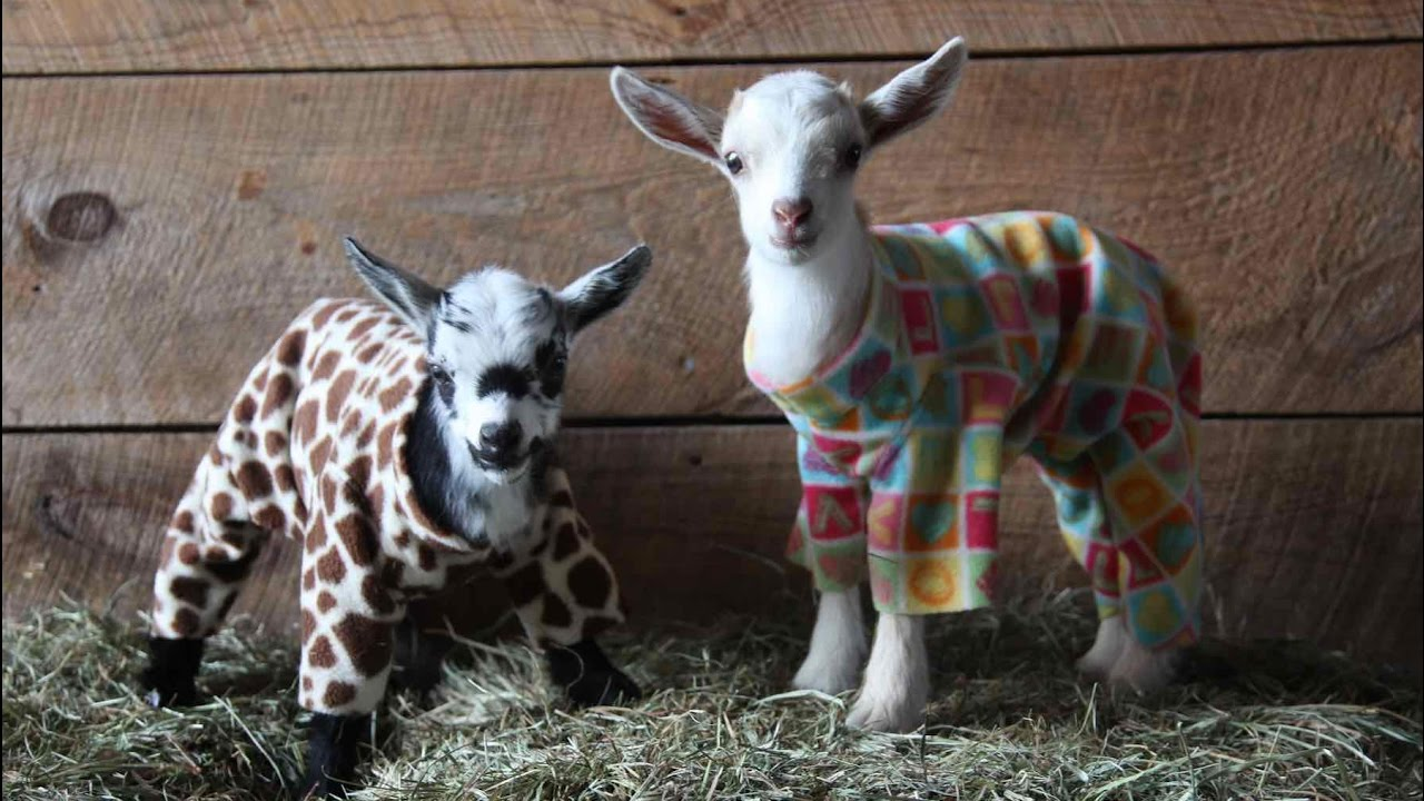 Today's Viral Video Pick: Goats In Pajamas!