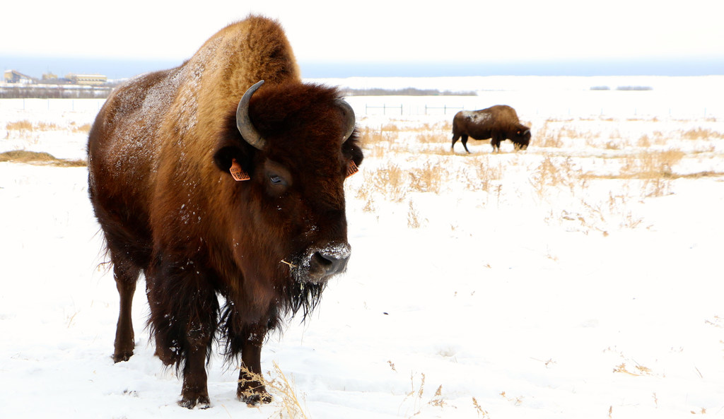 Syncrude Marks Bison Ranch 25th Anniversary