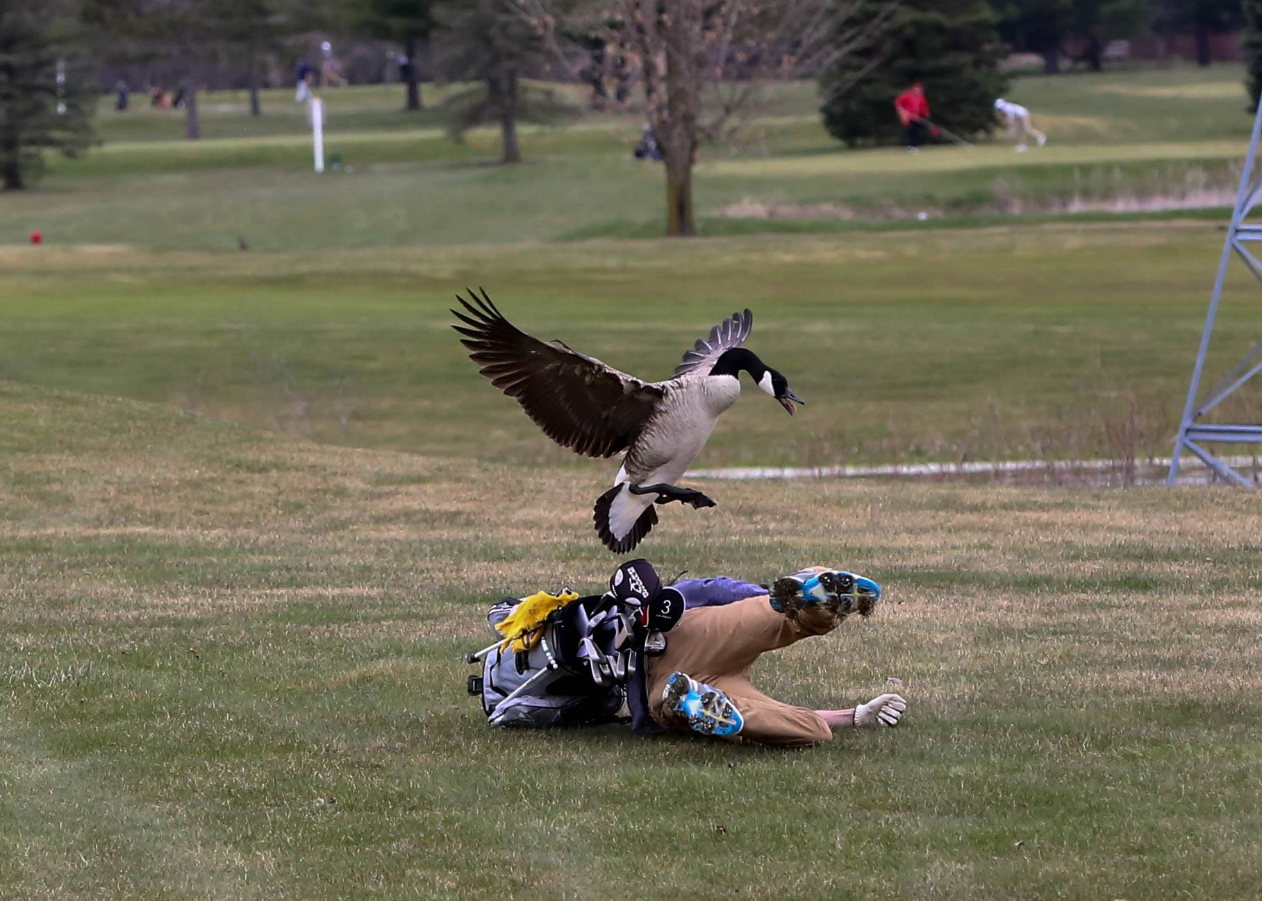 """""""Worlds Angriest Goose"""" Attacks Golfer, Here Are The Weirdly Gorgeous Photos"""