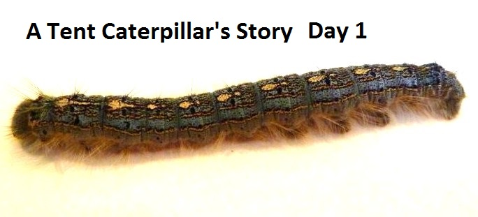 A Tent Caterpillar's Story - Day 1